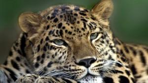 trött_leopard